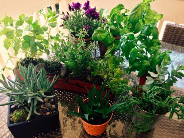 Indoor Herb Garden and Succulents